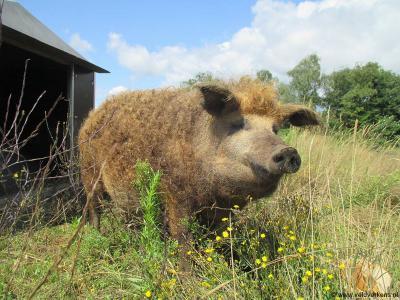 Niet alleen koeien, ook varkens spelen liever in de wei dan met zijn duizenden opgesloten te zitten in een 'megastal'. Dat dat kan, bewijst o.a. deze boer uit Zelhem. Voor nadere toelichting zie het hoofdstuk Landbouw en veeteelt.