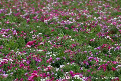 Boudewijnskerke, bloementeelt