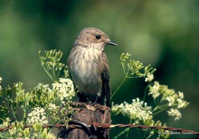 De Grauwe Vliegenvanger is in de zomer regelmatig te zien in het Loetbos.