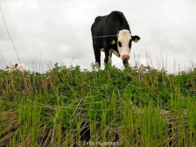 Eén van de typisch Groningse 'streekproducten' is de Groninger blaarkop, een koeienras dat overigens ook in de Rijnstreek tussen Utrecht en Leiden voorkomt. Dit ras is er in een zwarte en een rode uitvoering. Kenmerkend zijn de 'blaren' rond de ogen.