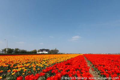 Noordwijk profileert zich als 'bloemenbadplaats'. Hier zie je waarom: de bloembollenvelden trekken in het voorjaar tienduizenden bezoekers.