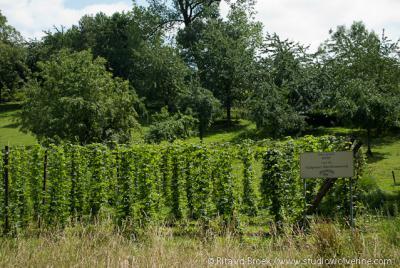 Reijmerstok, hop voor de Gulpener brouwerij