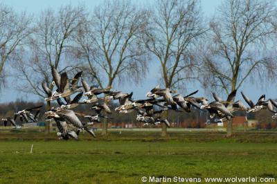 Vreeland, Polder Dorssewaard, waar altijd veel ganzen zitten in de winter. Op de achtergrond buurtschap Horstermeer onder Nederhorst den Berg.