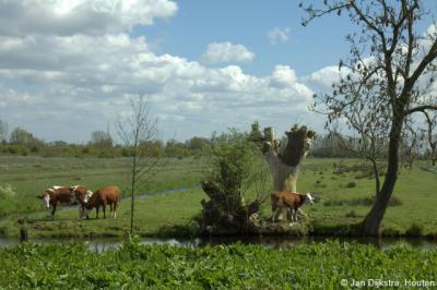 Natuurgebied Polder Achthoven bij de gelijknamige buurtschap onder Lexmond. De koeien lopen hier gelukkig nog in de wei. Leuk voor de koeien én leuker voor ons om naar te kijken dan naar een kaal weiland. En je krijgt er ook nóg mooiere foto's van :-)
