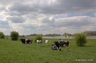 Tegenliggers op de wandeling door de Achthovense Uiterwaarden. Ach ze kijken even op maar gaan dan rustig door met grazen. Over rivier de Lek zien we het dijkdorp Jaarsveld in de provincie Utrecht.