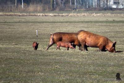 Aldeboarn, varkens mét hun biggen in de wei aan de Fjûrlânswei. Van ons mag dit een trend worden. Beter voor de dieren (de gebitten en staarten van deze varkens blijven ook intact) en aantrekkelijker voor ons om naar te kijken. (© https://afanja.com)