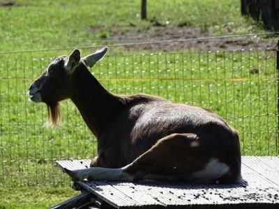 Deze geit ligt anno eind september 2020 nog lekker te zonnebaden op een tafel in Ansen. Als 'stank voor dank' heeft hij een paar keuteltjes op de tafel achtergelaten... (©Harry Perton / https://groninganus.wordpress.com/2020/09/25/ruinerwold-ruinen-ansen)
