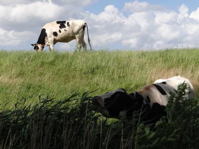 Smaken verschillen; daarom is er voor elke koe wat wils aan de Antumerweg bij buurtschap Antum. (© Harry Perton / https://groninganus.wordpress.com/2020/06/28/rondje-ezinge-21)