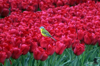 De meeste tulpen van Nederland zijn te vinden in de Noordoostpolder, o.a. bij Bant. Daarom is er in de NOP in april/mei het Tulpenfestival. En vogelsoorten zoals patrijs, gele kwikstaart (foto), veldleeuwerik, kievit en scholekster broeden er graag in.