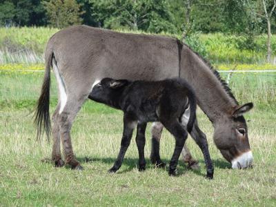 Moeder en kind ezel tegelijk aan de maaltijd in de Zevenhuister buurtschap Blauw. Verder heeft deze hobbyboer onder meer Nubische schapen, lama's en veel gevogelte. (© Harry Perton / https://groninganus.wordpress.com)