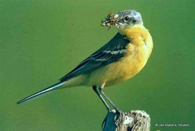 Nog een voorbeeld van een vogel die je hopelijk kunt spotten in het nieuwe weidevogelgebied bij Boven-Leeuwen: de gele kwikstaart.