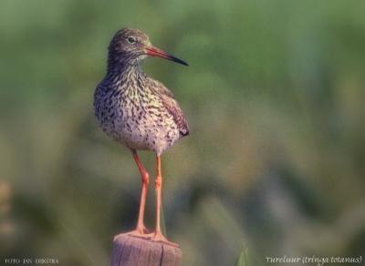 Ook de tureluur gaat vast wel zijn draai vinden in het nieuwe weidevogelgebied bij Boven-Leeuwen.