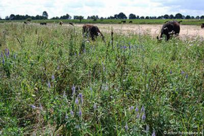In 2016 is het beheer van natuurgebied Vechterweerd in buurtschap De Marshoek door FREE Nature overgedragen aan de eigenaar van Buitenplaats Vechterweerd, Evert Dijk. De galloways maakt het allemaal niets uit, die blijven gewoon rustig hun ding doen.