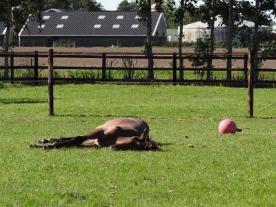 De Poffert, veulen geniet van welverdiende rust na een partijtje voetbal...  (© Harry Perton / https://groninganus.wordpress.com/2019/09/21/rondje-lagemeeden-leek-leutingewolde)