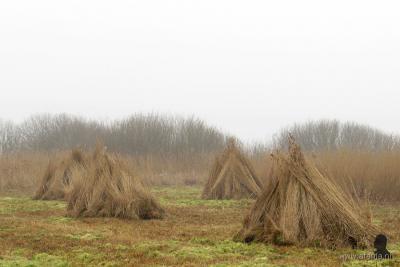 Een bosje bij elkaar gebonden riethalmen heet een rietschoof. Daar komt de naam van deze buurtschap dus vandaan. Op de foto bundels rietschoven na het rietsnijden in de Overijsselse Weerribben, februari 2016.