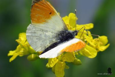 Weblogger Afanja heeft in mei 2016 dit schaarse oranjetipje gespot op de Doktersheide bij De Leien in De Tike. Op zijn site vind je vele honderden mooie foto's van planten en dieren uit de Friese natuur. Ga maar eens kijken op www.afanja.nl.