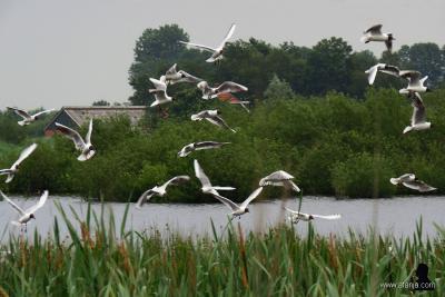 De Veenhoop, meeuwenkolonie in natuurgebied de Kraanlannen. (© https://afanja.com/2019/06/21/skywatch-friday-471)