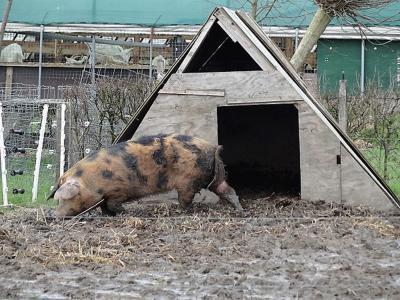 Bij deze boer aan de Zijlvesterweg bij Dorkwerd kunnen de varkens nog lekker buiten spelen. (© Harry Perton / https://groninganus.wordpress.com/2020/02/16/rondje-ezinge-19)