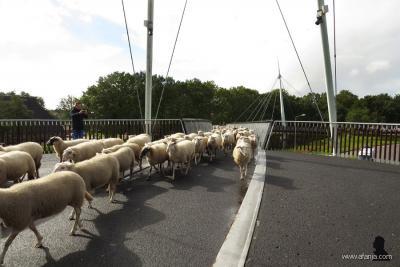 De Slinger in Drachten is met 240 meter de langste fietsbrug van Noord-Nederland. Deze verbindt het oosten en westen van Drachten met elkaar. Wat die schapen hier doen, kun je lezen onder het kopje Natuur en recreatie. (© www.afanja.com)