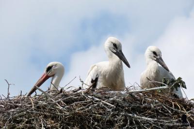 En ziet het ooiervaarsnest in Earnewâld er enkele maanden later uit, als de eieren succesvol zijn uitgebroed. Zie ook de mooie fotoreportage hierover op https://afanja.com/2019/07/05/skywatch-friday-473 door weblogger Afanja.