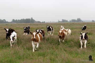 En niet alleen ooievaars, ook koeien lopen bij Earnewâld gelukkig nog in de wei, in dit geval aan de Alle om Slachte. De fotograaf wilde de groep in ruste fotograferen, maar toen kwamen ze ineens allemaal nieuwsgierig op hem af gerend... (© www.afanja.nl)