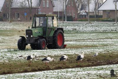 Earnewâld, jan. 2016, vier ooievaars en een meeuw aan de Dominee Bolleman van der Veenweg trekken zich niets aan van de aan het werk zijnde trekker, en scharrelen hun kostje bij elkaar in de door de boer vers gefreesde greppels.