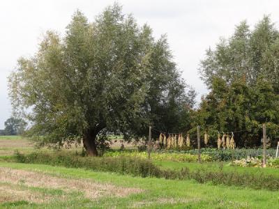 Tuin met wilgen en drogende bonen in de omgeving van buurtschap Enzelens (© Harry Perton/https://groninganus.wordpress.com)
