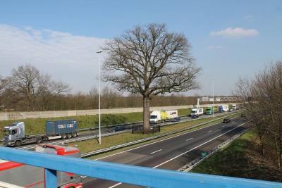 De beroemde Anneville-eik of Troeteleik in de middenberm van de A58 bij Ulvenhout, die bij de aanleg van de A58 gespaard is, moet de komende jaren waarschijnlijk toch nog verdwijnen t.b.v. de verbreding van de A58. (© www.breda-en-alles-daaromheen.nl)