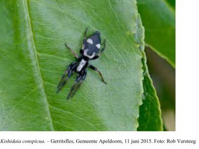 Gerritsfles, op 11 juni 2015 hebben leden van de KNNV afd. Apeldoorn tijdens hun libellenmonitoringsroute rond het ven Gerritsfles bij toeval een zeer zeldzame spin ontdekt, namelijk de Kishidaia conspicua, oftewel de viervlekmuisspin.