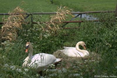 Omdat de Giessendamse Tiendweg in Hardinxveld-Giessendam een zeer rustig pad is, landelijk en midden in het groen, is het een ideale plek voor een zwanenpaar om er een nest te bouwen. En dat doen ze dan ook...