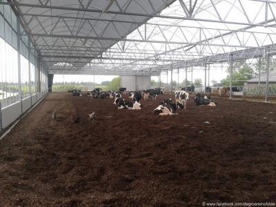 De 85 koeien van het biologische boerenbedrijf De Groene Hofstee hebben het goed naar hun zin in de in 2015 nieuwgebouwde loopstal. Ze liggen lekker droog op een zacht bedje van houstnippers. Maar de stal heeft nog veel meer voordelen. Zie verder de tekst