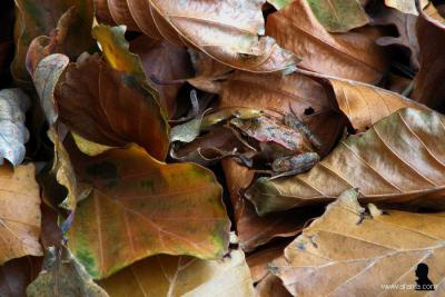Heidehuizen, november 2018. Zoek de kikker... De fotograaf zag een kikker door het bos springen en kon hem nog net fotograferen voor hij helemáál onder het bladerdek verdween...