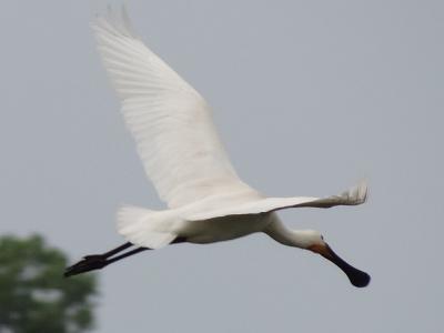 De herinrichting in 2015 van het gebied Reitdiep-Midden in de omgeving van Hekkum, gericht op het creëren van betere leefomstandigheden voor (weide)vogels, is succesvol. Zo is in 2017 deze lepelaar er waargenomen. (© https://groninganus.wordpress.com)