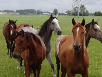 Ook deze mooie paarden kun je tegenkomen in buurtschap Hoogemeeden, aan de Weersterweg. (© Harry Perton / https://groninganus.wordpress.com/2019/07/06/ommetje-eiteweert-den-horn)