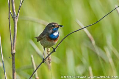 O.a. de zeldzame blauwborst broedt in het Beekbergerwoud in Klarenbeek