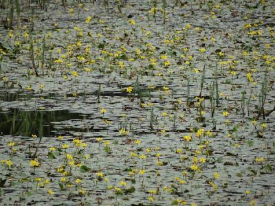 Direct W van de dorpskern van Kommerzijl ligt het door de NAM aangelegde natuurpark De Noorderriet, met o.a. deze watergentianen, die een grote aantrekkingskracht uitoefenen op libellen en juffers. (© Harry Perton/https://groninganus.wordpress.com)