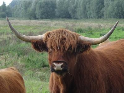 In natuurgebied de Kropswolderbuitenpolder bij Kropswolde kun je oog in oog komen te staan met Schotse hooglanders, waaronder deze. Ze doen je geen au, mits je gepaste afstand houdt. (© https://groninganus.wordpress.com/2020/09/12/rondje-gasselternijveen)