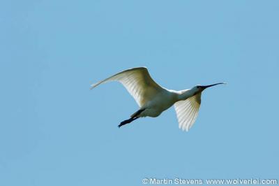 Natuur- en recreatiegebied De Groenzoom is aantrekkelijk voor diverse vogelsoorten waaronder de lepelaar.