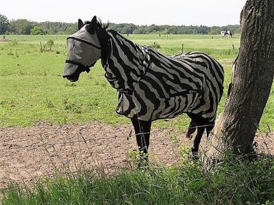 Dit 'als zebra veklede paard' (aldus de fotograaf) bij Lieveren heeft deze dekjes vermoedelijk als bescherming tegen prikkende insecten. Maar tijdens deze hittegolf in juni 2019 zit het wel erg warm... (© Harry Perton/https://groninganus.wordpress.com)