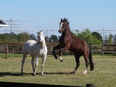 Als je door Lucaswolde wandelt of fietst, doen deze paarden met een beetje geluk een dansje voor je, zoals ze hier op 5 mei 2020 voor de fotograaf van deze foto hebben gedaan. (© Harry Perton /  https://groninganus.wordpress.com/2020/05/05/rondje-marum-3)