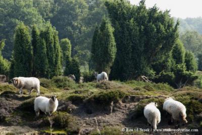Mantinge, Mantingerveld, begrazing met het Drentse heideschaap