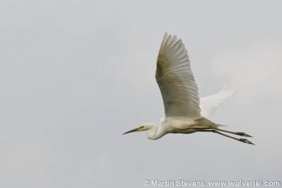 Markermeer, Marker Wadden, vogels zullen de nieuwe eilanden massaal bevolken, zoals deze zilverreiger en de aalscholver