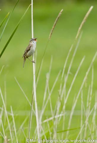 Markermeer, Marker Wadden, vogels zullen de nieuwe eilanden massaal bevolken; ook broedvogels als deze rietzanger komen er na verloop van jaren.
