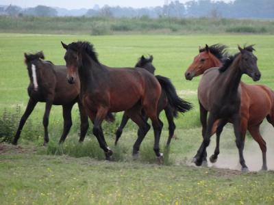 Vijf paarden in de wei bij Matsloot (© Harry Perton / https://groninganus.wordpress.com/2016/06/12/paardenshow-bij-matsloot/, waar je nog meer mooie foto's van deze paarden vindt)