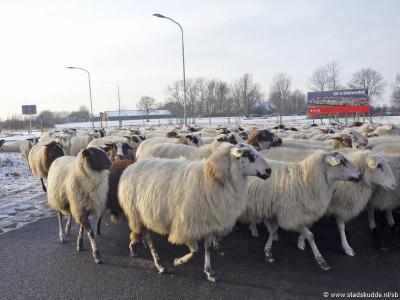 Goede timing van de fotograaf, want ook dít is Blauwestad: de kudde Drentse heideschapen van Staatsbosbeheer, die o.a. het bos en de dijken bij de buurtschap Meerland begraast.