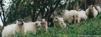 De fauna van het Mergelland kent enkele streekeigen rassen. Zo is er het Mergelland Hoen en, op de foto, het Mergelland Schaap.