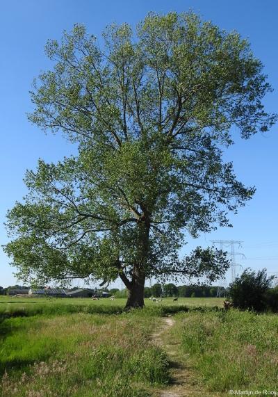 Dit is hoogstwaarschijnlijk de dikste en oudste boom van Moerenburg. Hij staat een paar honderd meter ten oosten van de Koebrugseweg, langs de Voorste Stroom, midden in het land. Vreemd genoeg staat hij niet op de Gemeentelijke Lijst Monumentale Bomen.