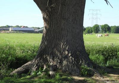 En omdat in de foto hierboven de boom zelf wél goed 'uit de verf' komt maar de dikte van de stam niet, hier een close up ervan.