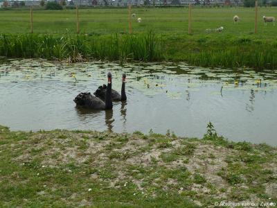De zwarte zwaan is een populaire sierwatervogel die veel wordt gehouden en gekweekt. Ontsnapte of uitgezette exemplaren kan men ook in de Europese natuur tegenkomen, maar worden beschouwd als exoot. Hier een koppeltje zwarte zwanen in buurtschap Molenbrug