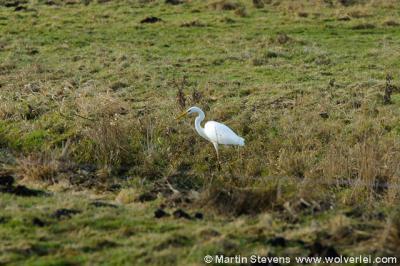 Naarden, Naardermeer. De Bovenmeent is beroemd om zijn talrijke zeldzame vogels. Op de foto de grote zilverreiger.